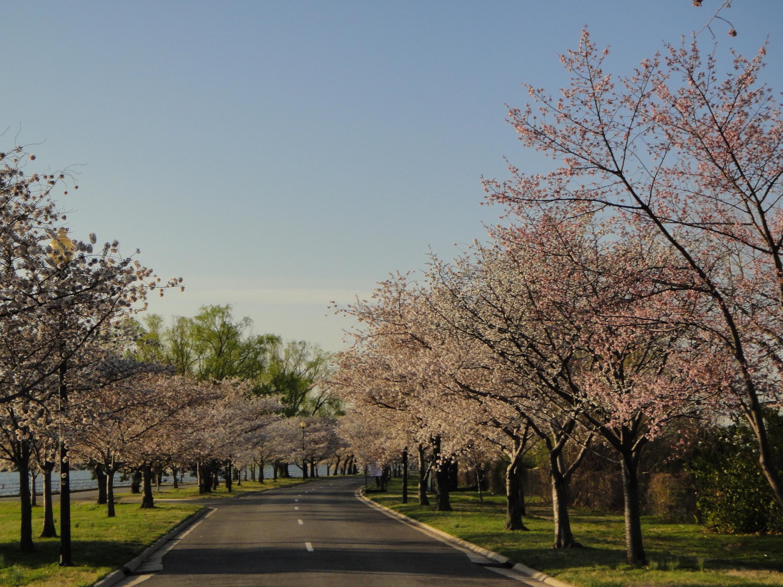 Cherry Blossom Alert