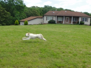 Dog action shot. The runner.