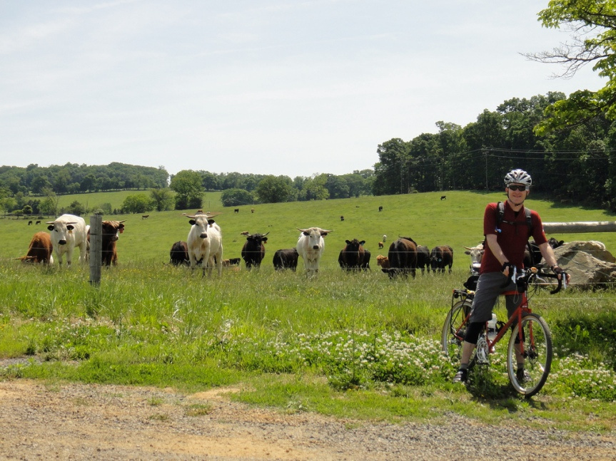 Felkerino and cows