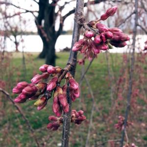 Cherry blossom buds