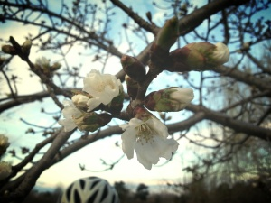 Cherry blossom and a little bit of bike helmet for extra flair