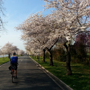 Morning peak blossom lap on Hains Point