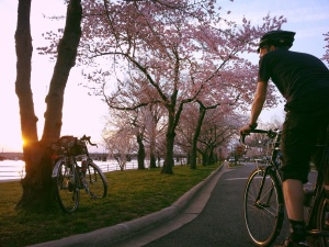Lane, Sunset, Surly, and Cherry Blossoms