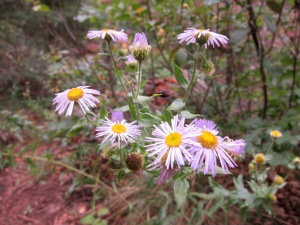 Wildflowers on the West Fork Trail