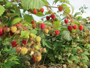 Raspberries in Butler's Orchard