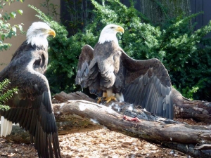 pittsburgh-national-aviary-eagles-wings-open