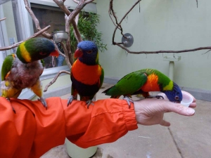 pittsburgh-national-aviary-lorikeet-feeding