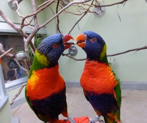 pittsburgh-national-aviary-lorikeet-kiss