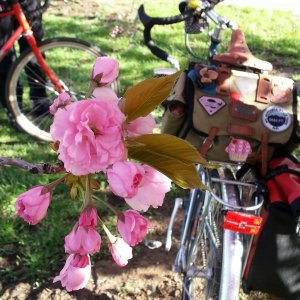 Bikes and blossoms. Surly LHT