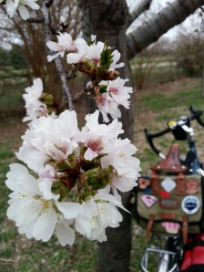 Surly LHT and cherry blossoms