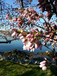Cherry Blossoms, Surly, on the Potomac