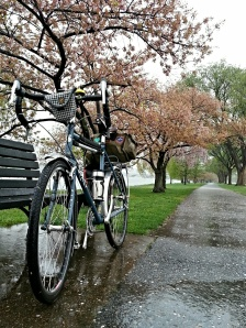Surly LHT and cherry trees