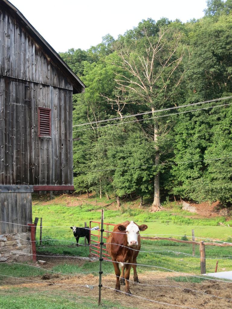 Obligatory Cow Photo