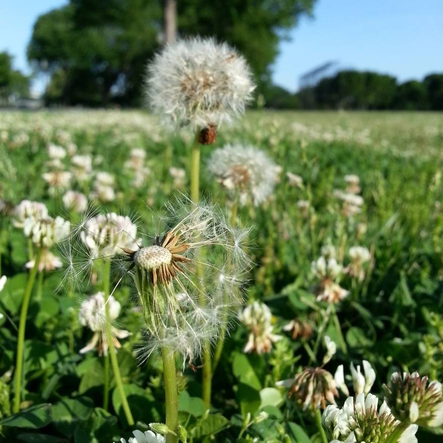 May dandelions and clover along Ohio Drive on a morning run