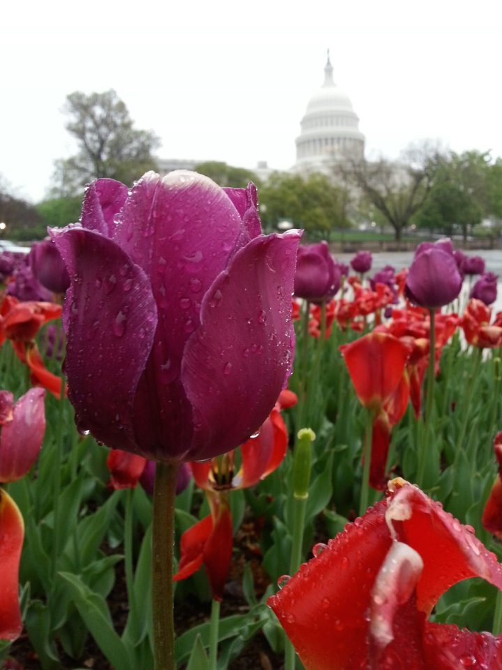 April tulips by the Capitol