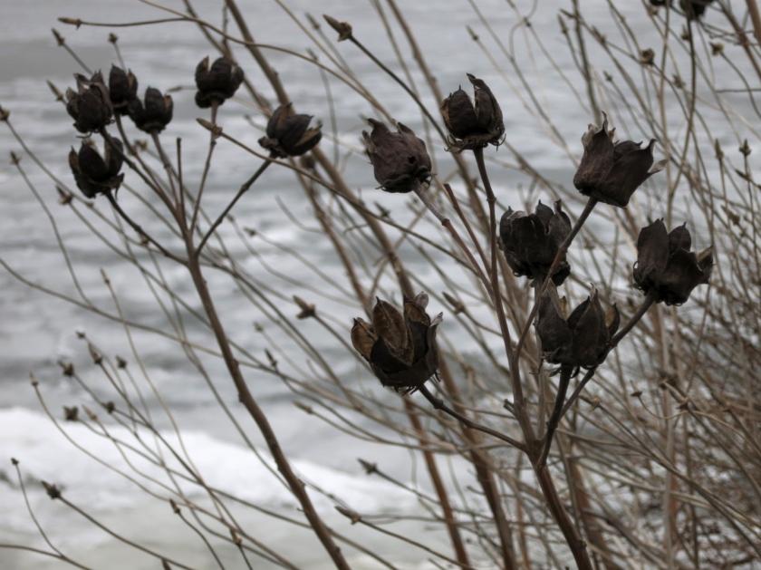 Winter Wildflowers along the Potomac