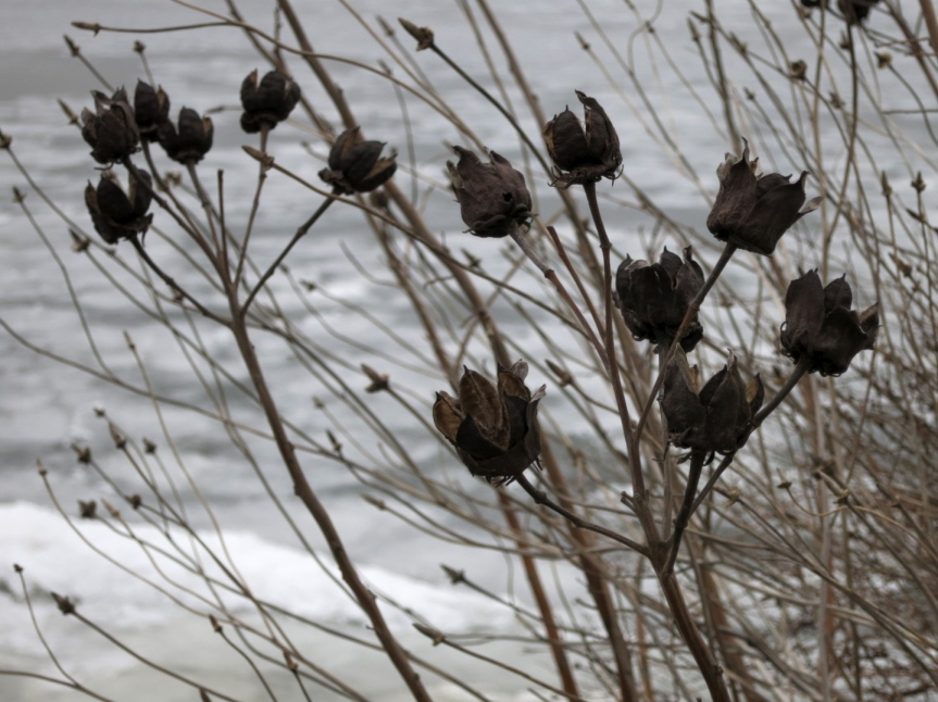 Winter Wildflowers along the Potomac