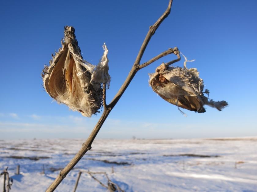 milkweed Iowa