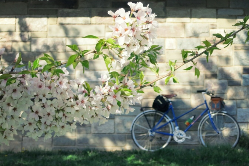 Cherry blossoms and mixte