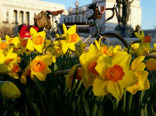 daffodils and surly lht