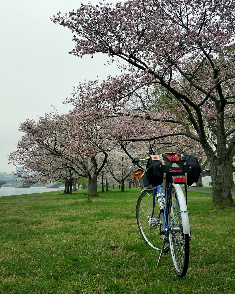 Day 9 Blossoms and mixte on Ohio Drive