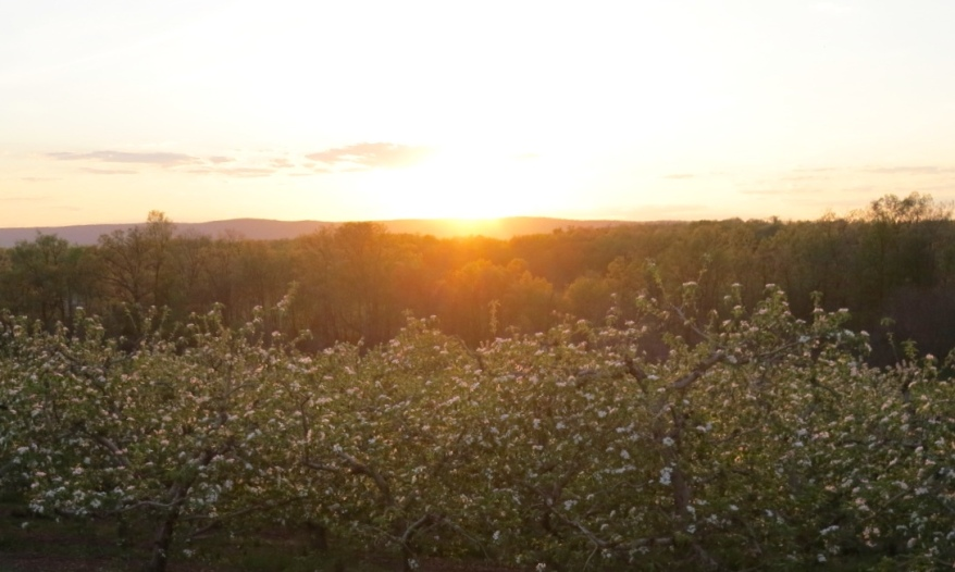 Sunset over the apple blossoms