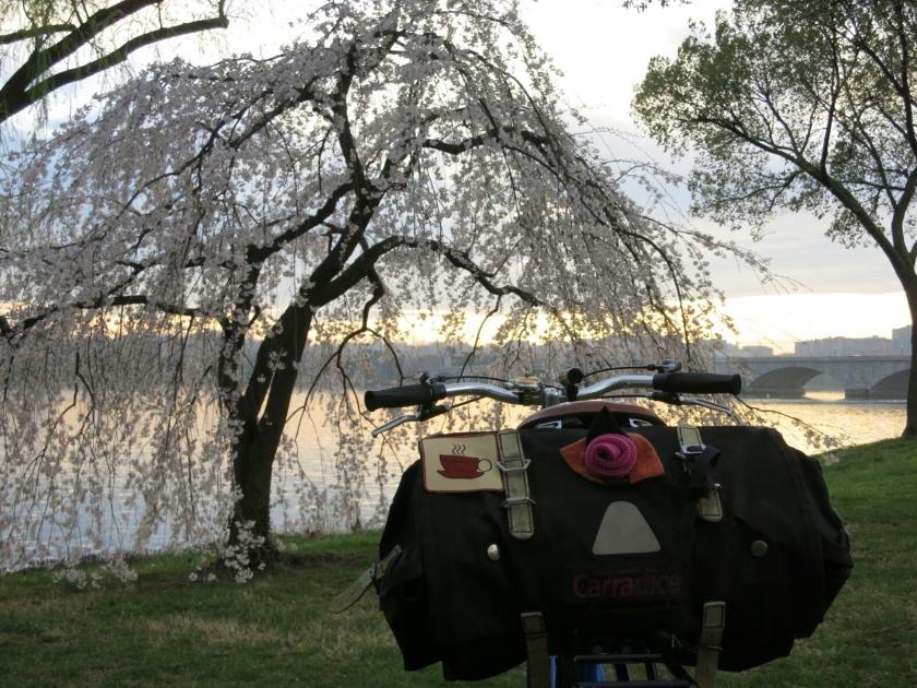 April commute at sunset. Cherry blossom season